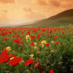 Blooming Poppies in Field