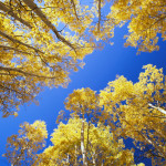 Aspen Trees Against Blue Sky